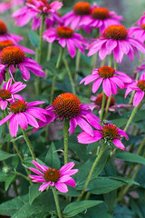 20150711_garden flowers_0099 (zoomclic) Tags: canon closeup colorful 5dmarkii ef85mmf12liiusm coneflower pink green dof dreamy flower foliage nature summer zoomclicphotography saveearth