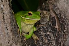 White-lipped Tree Frog (Litoria infrafrenata) (shaneblackfnq) Tags: whitelipped tree frog litoria infrafrenata lip white giant shaneblack wonga beach daintree river mossman fnq far north queensland australia amphibian tropics tropical