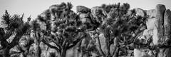 Epic Joshua Tree Landscapes!  Dr. Elliot McGucken Fine Art Photography Sony A7RII Nature Photography (45SURF Hero's Odyssey Mythology Landscapes & Godde) Tags: epicjoshuatreelandscapesdrelliotmcguckenfineartphotographysonya7riinaturephotography fineart nature fineartphotography naturephotography masterfineartphotography fineartphotographer elliotmcguckenfineart elliotmcguckenphotography elliotmcguckenfineartphotography naturephotos fineartphotos joshuatreespring joshuatree sonya7r2 sonnar tfe 55mmf18zalens sonya7rii a7rii a7r2 a7r a7 sonya7 sonya7r sonya7riisony1635mmvariotessartfef4zaossemountlens