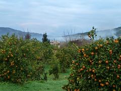 Mallorca (ingehoogendoorn) Tags: trees mist mountains green landscape nevel spain bomen groen smoke oranges bergen rook mallorca spanje oranje landschap sinaasappels orangetrees sinaasappelbomen biniaraix