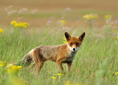 Juvenile red fox - Explored - (Wouter's Wildlife Photography) Tags: nature mammal wildlife ngc explore npc predator 2012 vos redfox vulpesvulpes meijendel july10th roofdier zoogdier mygearandme mygearandmepremium mygearandmebronze mygearandmesilver mygearandmegold mygearandmeplatinum