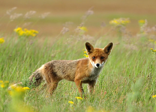 Juvenile red fox