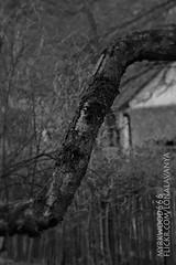 Eihwaz  (Myrkwood666) Tags: bw monochrome blackwhite symbol zwartwit sw schwarzweiss pagan rune futhark asatru eihwaz seelenwinter mrkskygge myrkwood666