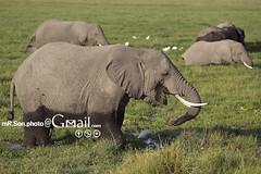 /Amboseli National Park (mR.Son.Photo) Tags: africa elephant kenya safari   amboselinationalpark   republicofkenya