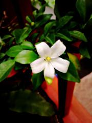Dok Kaew (som300) Tags: flower plant blossom motorola zn5