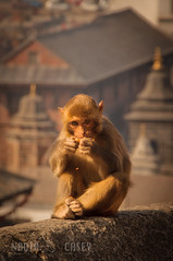Pashupatinath Monkey (N+C Photo) Tags: world travel nepal holiday art tourism temple photography monkey casey nikon nadia asia action earth expression culture east adventure explore viajes artists animales explorers hindu turismo vacaciones mundo global discover aventura pashupatinath tierra travel1 d90 descubrimiento traveladventure