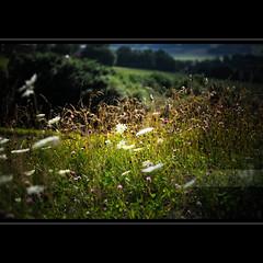 In the meadow (geirkristiansen.net.) Tags: flowers summer dof bokeh sommer meadow shallow blomster engersand 2470mmf28g