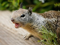 Angry Squirrel (Alex E. Proimos) Tags: animal squirrel teeth angry aggresive