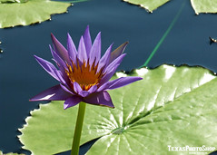 PP42 (TexasPhotoShop) Tags: flower water pond texas waterlily lily tx tropical bloom waterlillies hardy sanangelo nymphaeaceae