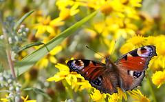 Lepidoptera (Martijn ) Tags: closeup lepidoptera geel rood vlinder