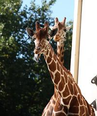 Giraffe (Buna) (scara1984) Tags: zoo antwerp 10102010 scara1984