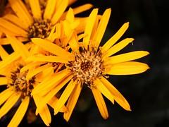 Ligularia Dentata (donsutherland1) Tags: flowers summer ny newyork bronx blossoms august bloom soe nybg ligularia thegalaxy flickraward flowersarebeautiful brittmariecrawford awesomeblossoms fleursetpaysages allnaturesparadise ligulariadentate