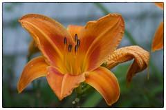 Orange Flower - Parsonsfield, ME (gastwa) Tags: flower macro nature landscape nikon scenery maine andrew full micro frame fullframe fx f4 sensor d800 200mm gastwirth d800e andrewgastwirth