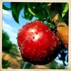 Thirsty ants (Lu Bodaczny ♥) Tags: fruit hormigas drop fruta gotas ants droplet gota lubodaczny hipstamatic johnslentes inas1969filme