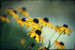 forget-me-not...  yes, I know they are black-eyed-Susans...  :-) (Morningdew Photography) Tags: flowers blue summer brown white toronto ontario canada black flower macro green texture yellow closeup canon dof bokeh grunge text vignette blackeyedsusan on frenchkiss alienskin boccacino exposure4 morningdewphotography t1i ef100l