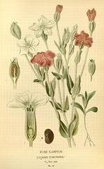 Anglų lietuvių žodynas. Žodis lychnis coronaria reiškia <li>lychnis coronaria</li> lietuviškai.