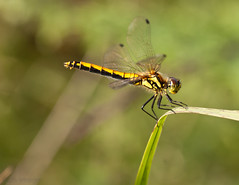 Black Darter (Sympetrum danae) female. (Rich_Image ...I will catch up eventually) Tags: macro nature insect reserve lincolnshire naturereserve crowle crowlemoor