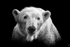 Polar Bear on black (chmeermann) Tags: portrait bw zoo blackwhite nikon portrt polarbear sw nikkor schwarzweiss gelsenkirchen 70300 d80 zoomerlebniswelt eisbar mygearandme mygearandmepremium