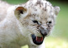 Lion (floridapfe) Tags: baby cute animal zoo nikon korea everland
