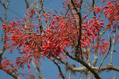Erithrina crista-galli (Ana Taemi) Tags: brazil erithrinacristagalli saopaulo coraltree flordecoral corticeira fazendasantagertrudes santagertrudes eritrinacristadegalo santagetrudes