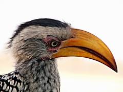 Southern Yellow-Billed Hornbill (Mandara Birder) Tags: tockusflavirostris sonyphotographing