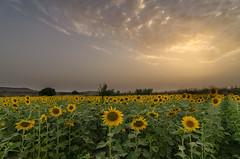 AMP_7541_1 (Amparo Hervella) Tags: villaconejos espaa spain paisaje landscape girasol sunflower nube cloud atardecer sunset puestadesol d7000 nikon nikond7000 wewanttobefree comunidadespaola