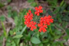Red flowers (Julien Falissard) Tags: paraguay america amrique sud ruines ruins jsuite jsuits pierre roc status city capital