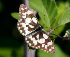 Melanargia galathea (quarzonero ...Aldo A...) Tags: melanargiagalathea butterfly farfalla nature coth5 sunrays5 coth