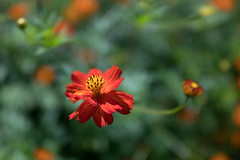 DSC02138 (Zengame) Tags: hamarikyu hamarikyugardens rx rx1 rx1r rx1rm2 rx1rmark2 sony zeiss cc cosmos creativecommons flower japan tokyo           jp