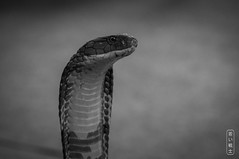 Cobra #0690 (svenpetersen1965) Tags: cobra crocodilefarm dangerous head snake zoo kosamui changwatsuratthani thailand th venomous naja