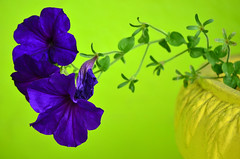 Yellow green and violet dream (James_D_Images) Tags: violet purple flowers green wall background yellow pot closeup bokeh