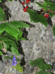 LibertyFalls27 (alicia.garbelman) Tags: alaska libertyfallsstaterecreationarea wildflowers monkshood