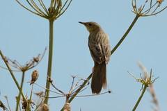 Grasshopper Warbler. (stonefaction) Tags: grasshopper warbler angus scotland birds nature wildlife