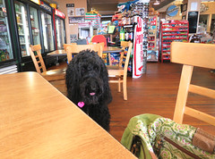 """""""Finally, I'm invited to eat inside!""""  by Benni Girl (Bennilover) Tags: avilabeach california benni dog labradoodle mercantile cafe eating inside friendly food salmon tacos beach happy summer august vacation htt bennigirl dogs doodles"""
