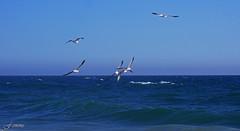 Chasing the Shrimp Catcher, ii (F.emme) Tags: beach huntingtonbeach gulls seagulls shrimp pacificocean ocean