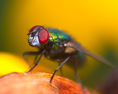 RG_328 ( Ed Lee) Tags: nikon 7100 sigma 105mm color contrast closeup richmond green morning park depthoffield bokeh portrait fly insect macro wings hair leg plant flower petal eye compound