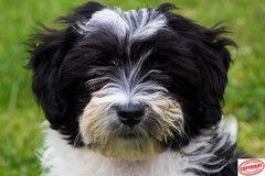IMG_5599 Ella Maltipoo Puppy (Joanne 1967) Tags: maltipoo puppy joanneshaw simplyphotography dogs pet animal