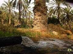 Irrigation de la palmeraie (Ath Salem) Tags: algrie paysage tourisme dcouverte    palmeraie hobba eloued souf sable blanc sahara est irrigation palmier   coupole