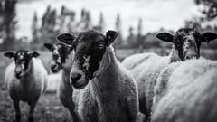 Baa (_mr_dave_) Tags: sheep countryside country farm ovington hampshire field wool animal blackwhite bw black white grey gray monochrome mono monotone 169 wide blackandwhite sonya7rii sonyalpha sonnart fe55mmf18 zeiss carlzeiss