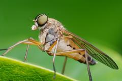 Marsh Snipe Fly (Doundounba) Tags: pentax k3 pentaxdfa100mmf28macro raynox dcr250 fly mouche diptera macro insect insecte bug marchsnipefly rhagiotringarius rhagionidae montral qubec jardinbotanique botanicalgarden focusstack pentaxart