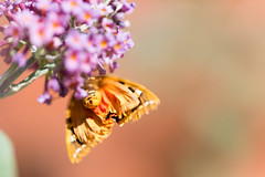 Moth Bum (Pittypomm) Tags: euplagia quadripunctaria jersey tiger moth underside orange buddleia flower purple insect animal