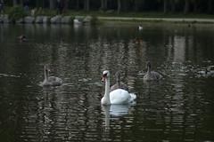 Swan family in Gisketjern (Svein K. Bertheussen) Tags: swan muteswan svane cygnets svaneunger water innsj tjern lake pond gisketjern vann fugl fugler bird birds knoppsvane refeksjon reflections