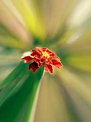 French Marigold by Vertical Frame (Johnnie Shene Photography(Thanks, 1Million+ Views)) Tags: frenchmarigold marigold cottagemarigold flora floral flower flowering red distorted single one isolated fulllength nature natural wild wildlife livingorganism tranquility tranquilscene adjustment plant spring day photography vertical outdoor colourimage fragility freshness nopeople foregroundfocus backgroundblur bright luminosity petals corollas korea asia canon eos600d rebelt3i kissx5 sigma 1770mm f284 dc macro lens  chrysanthemum