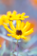 20160909_yard flowers,zin,red mg,_4257 (zoomclic) Tags: 7d summer sigma150mmmacro macro zinnia nature yellow orange blue bokeh dof dreamy plant flower foliage garden pastel 12mmexttube zoomclicphotography canon closeup colorful