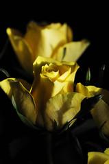 DSC_5598 (PeaTJay) Tags: nikond300s sigma reading lowerearley berkshire macro micro closeups gardens outdoors nature flora fauna plants flowers rose roses rosebuds