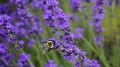 Lavender and Honeybee (Billy K. Chen) Tags: longisland newyork newyorkstate roadtrip daytrip weekendgetaway lavender flower lavenderfield eastmarion suffolkcounty honeybee nature macro shallowdof depthoffield closeup lavenderbythebay