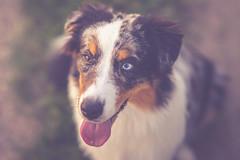 One more Dexter (Testshot Samyang AF 50/1.4 FE) (Bokehschtig (OFF)) Tags: dog aussie australianshepherd canine hund htehund shepherd bordercollie dof bokeh depthoffield shallowdepthoffield sony sonya7 samyang samyangaf5014fe 50mm f14