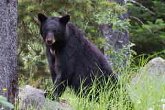 Black Bear (Paul G Howcroft) Tags: blackbear bear jasper alberta canada rockies animal wild lake maligne