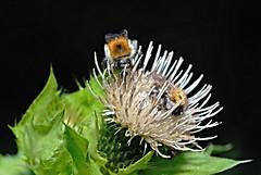 Bienen auf Kohldistel (DianaFE) Tags: kohldistel dianafe insekt blume pflanze tiefenschrfe schrfentiefe makro freihandmakro bienen biene