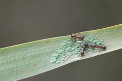 Ants herding aphids (Henri Koskinen) Tags: ant aphid kirva muurahainen uutela helsinki finland 28082016